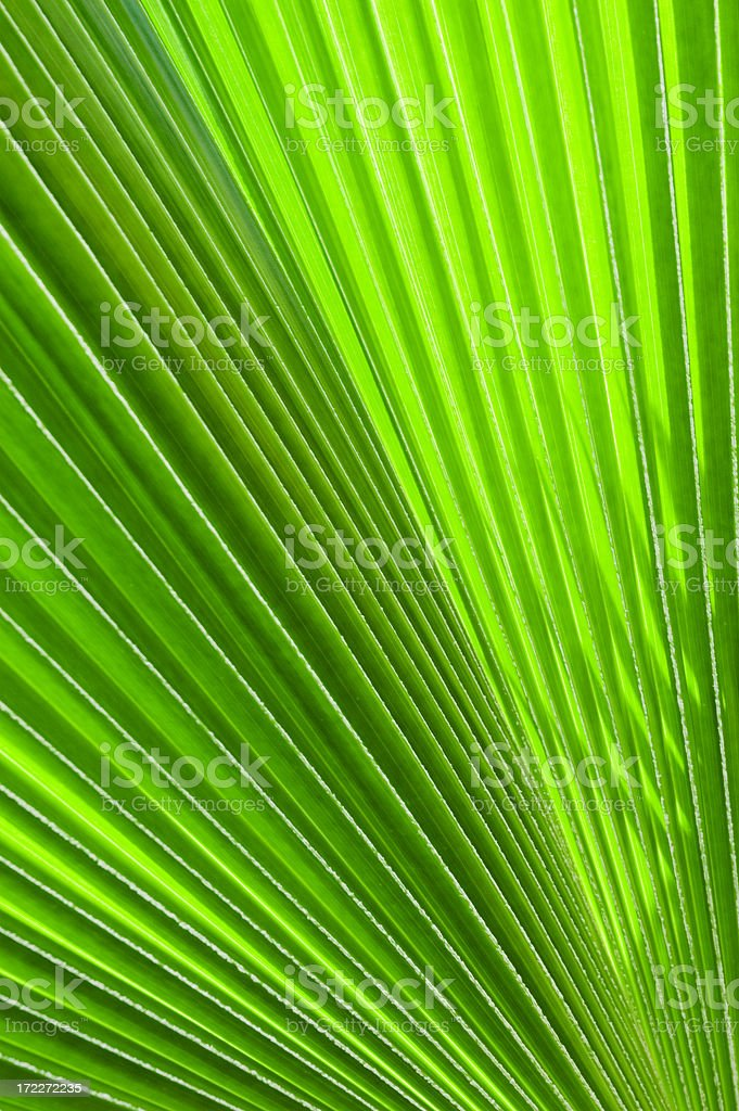 Closeup of a Fan Palm leaf royalty-free stock photo