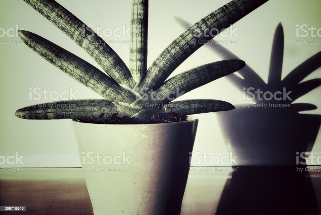 Close-up of a fan-shaped sansevieria cylindrica and its shadow on the wall stock photo