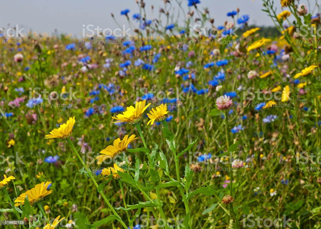 Closeup of a field margin of wildflowers stock photo
