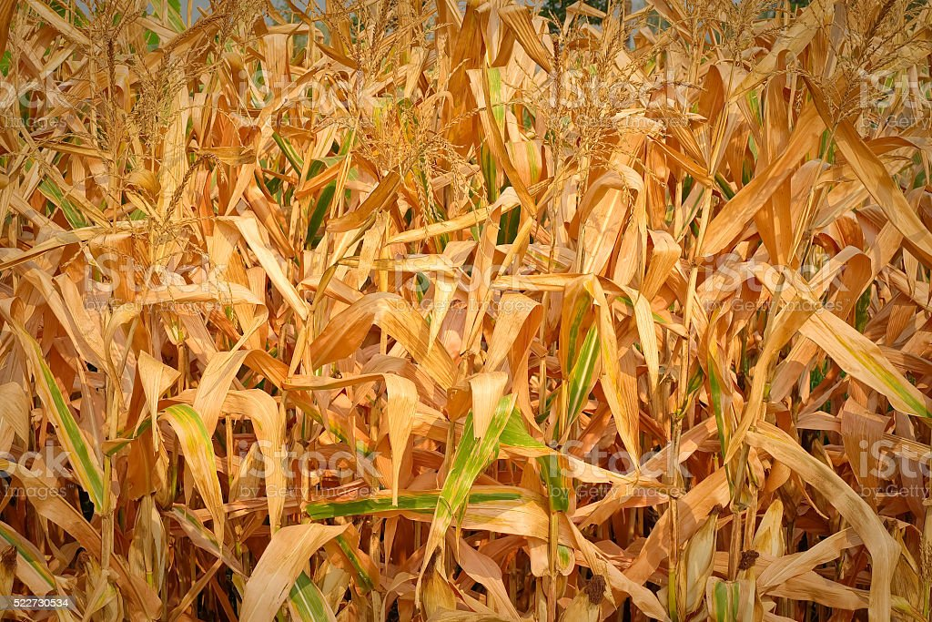 Closeup of a field of corn ready for harvest stock photo