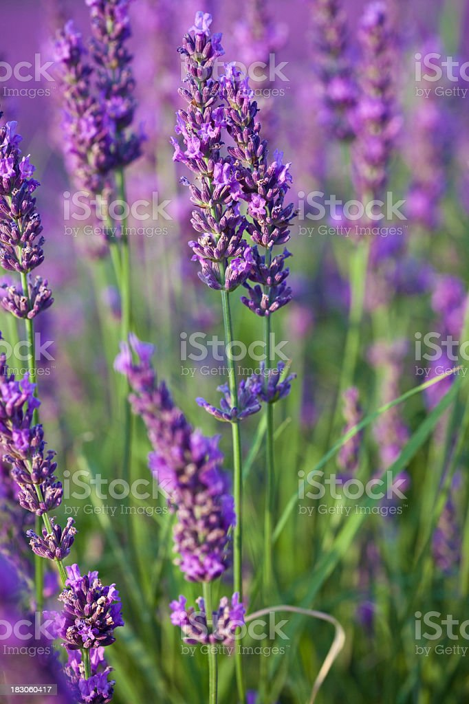 Close-up of a field of lavenders stock photo