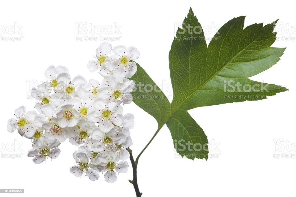 Close-up of a Flowering hawthorn on a white background stock photo