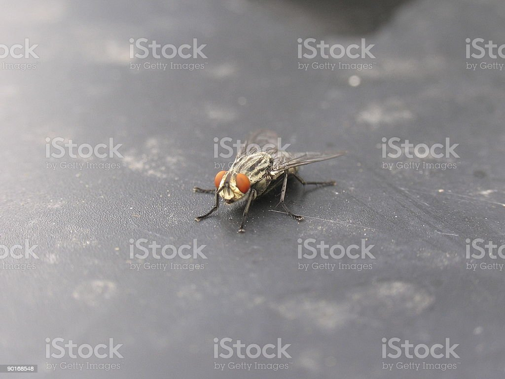 Closeup of a fly #2 stock photo