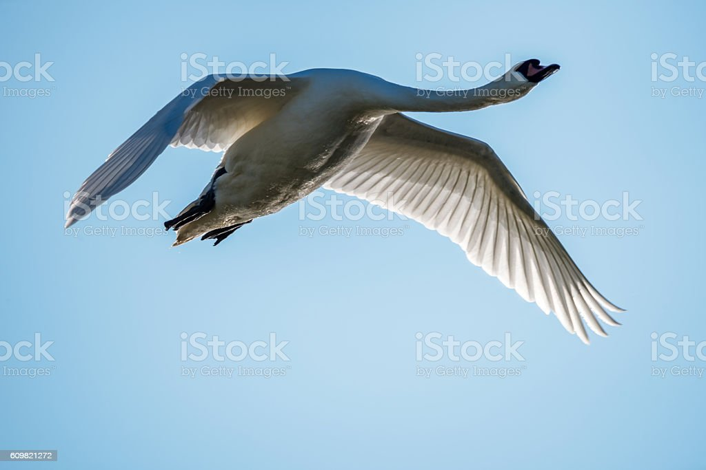 Close-up of a Flying Swan in a Clear Blue Sky stock photo