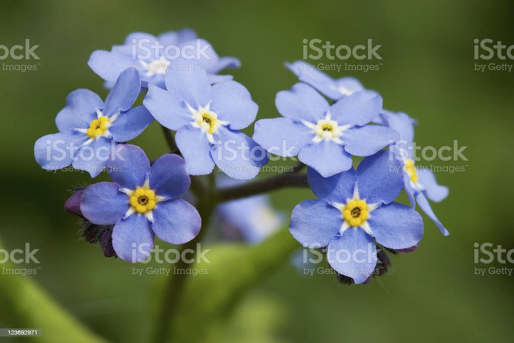 A close-up of a forget me not plant stock photo