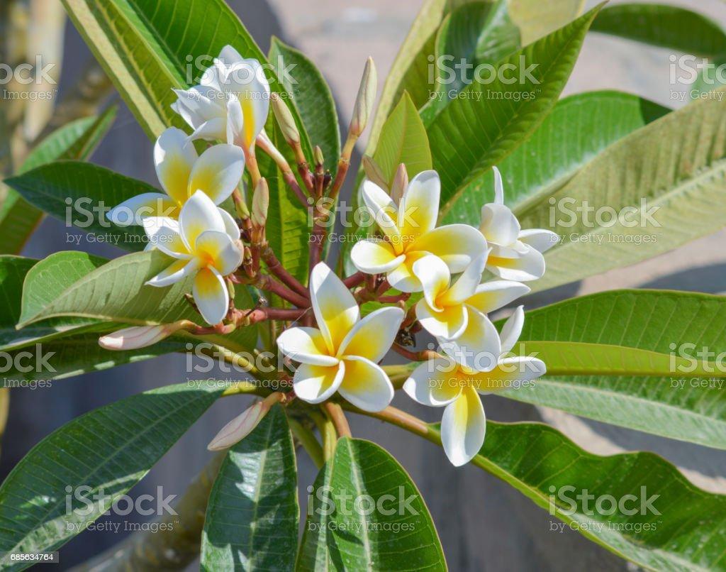Closeup of a frangipani plumeria plant stock photo