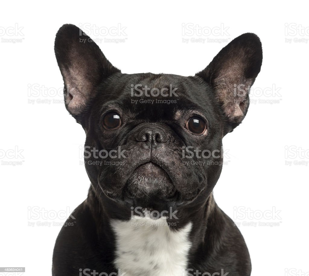 Close-up of a French Bulldog looking stock photo