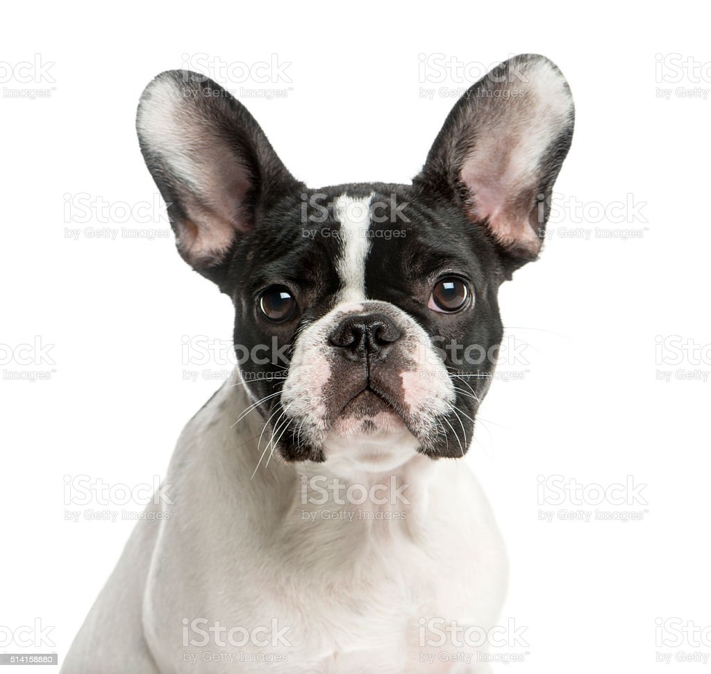Close-up of a French Bulldog stock photo