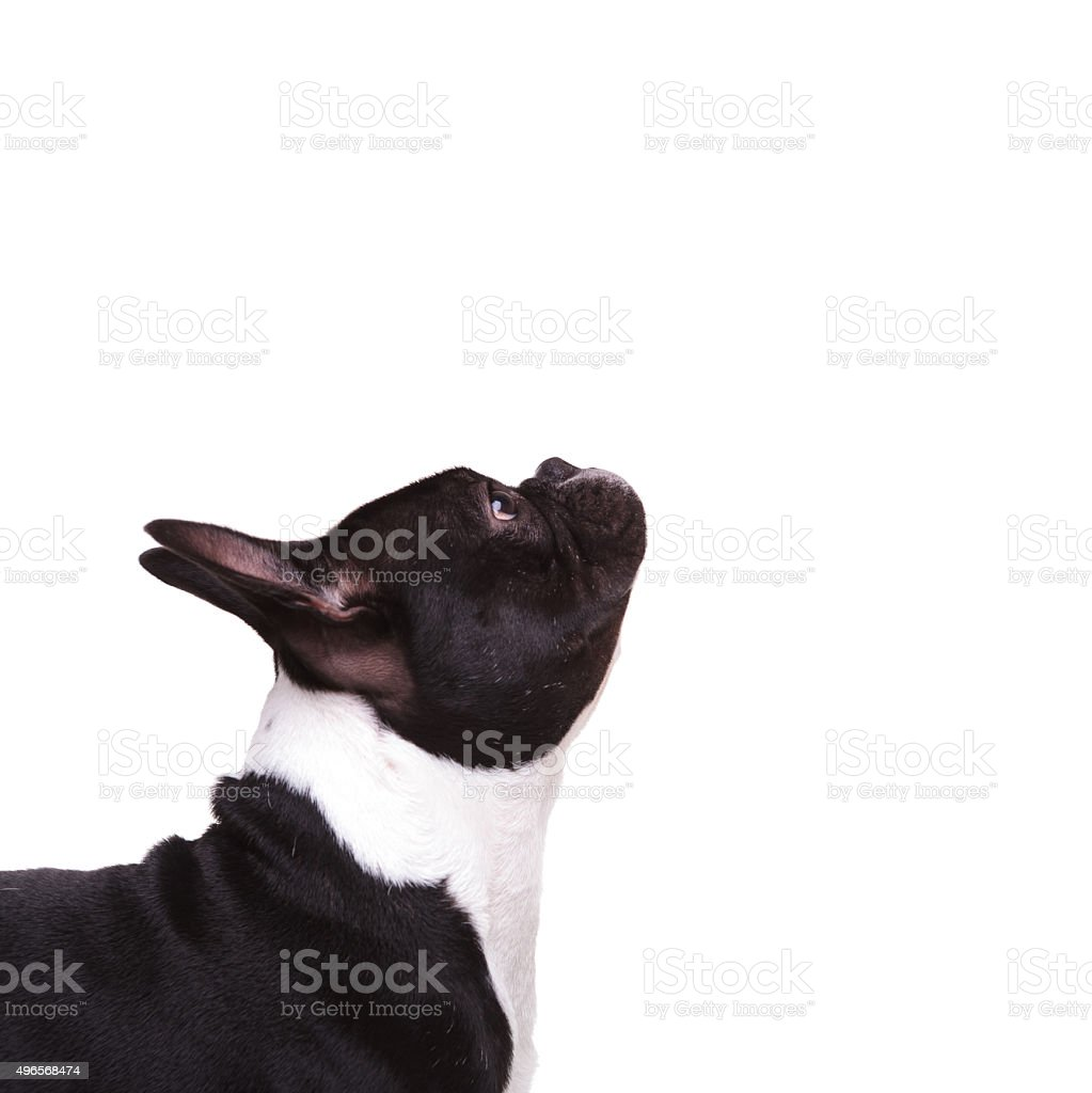 closeup of a french bulldog puppy looking up stock photo