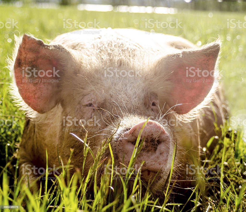 Closeup of a friendly and nice Organic Pig stock photo