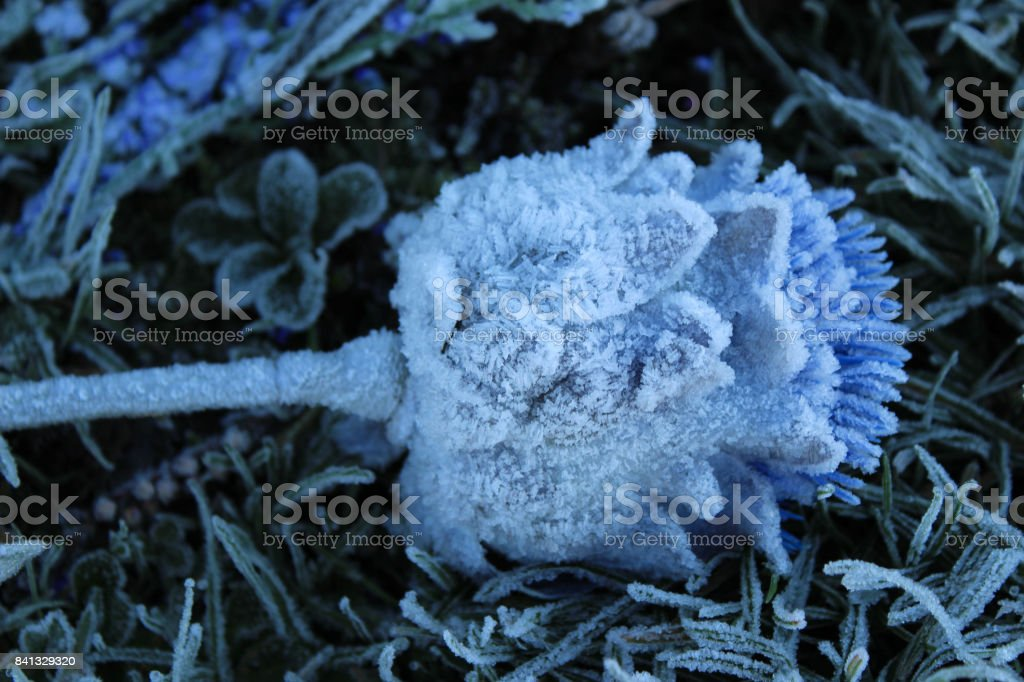 Close-up of a Frozen Thistle stock photo