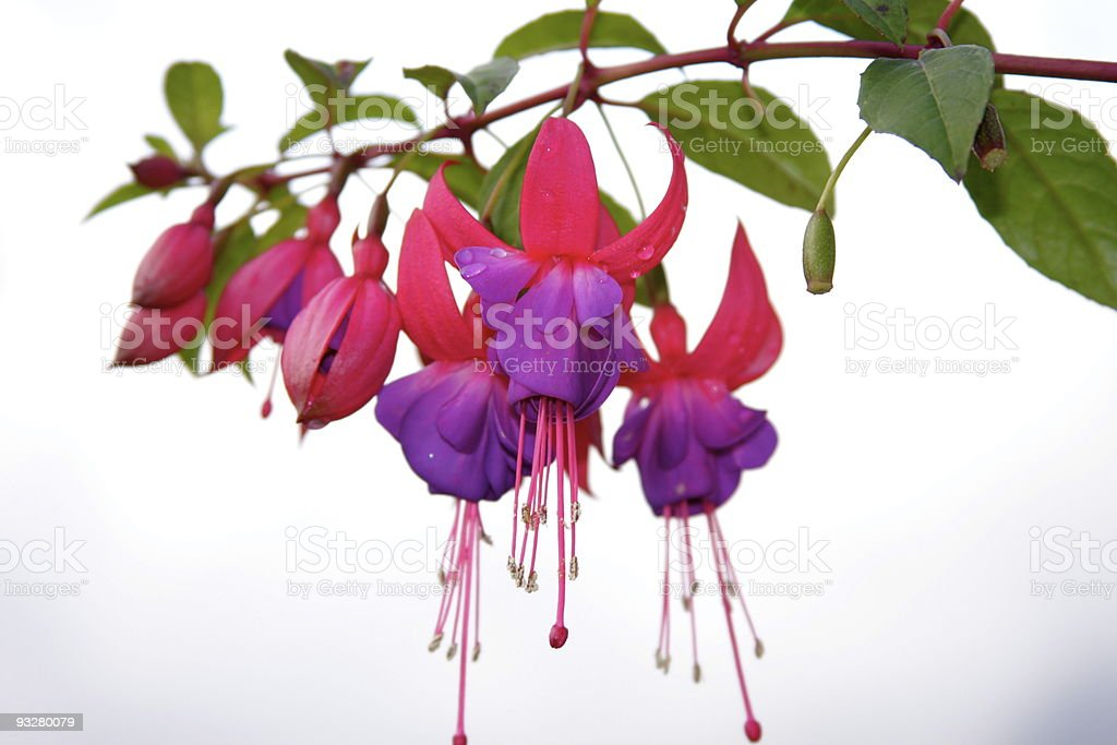 Close-up of a fuchsia flower with leaves on a white backdrop stock photo