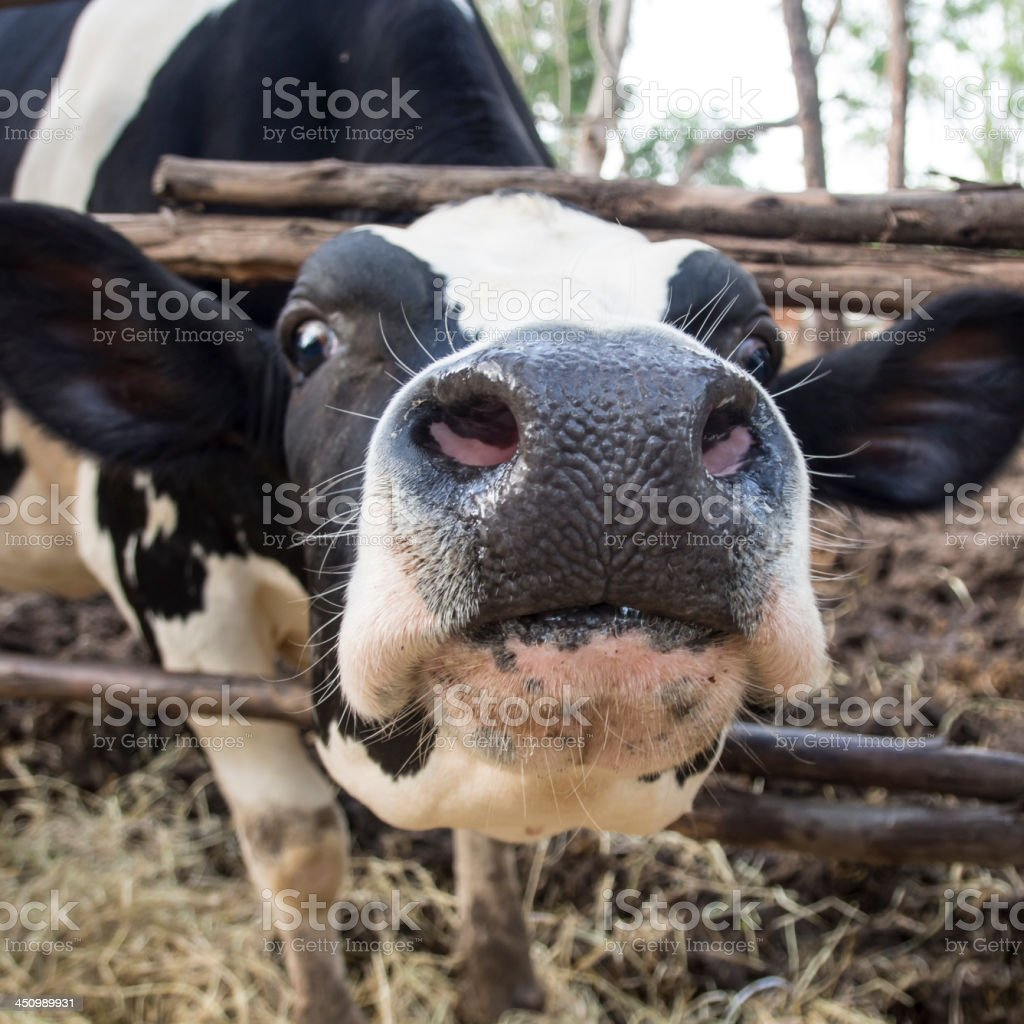 Close-up of a funny black and white cow royalty-free stock photo