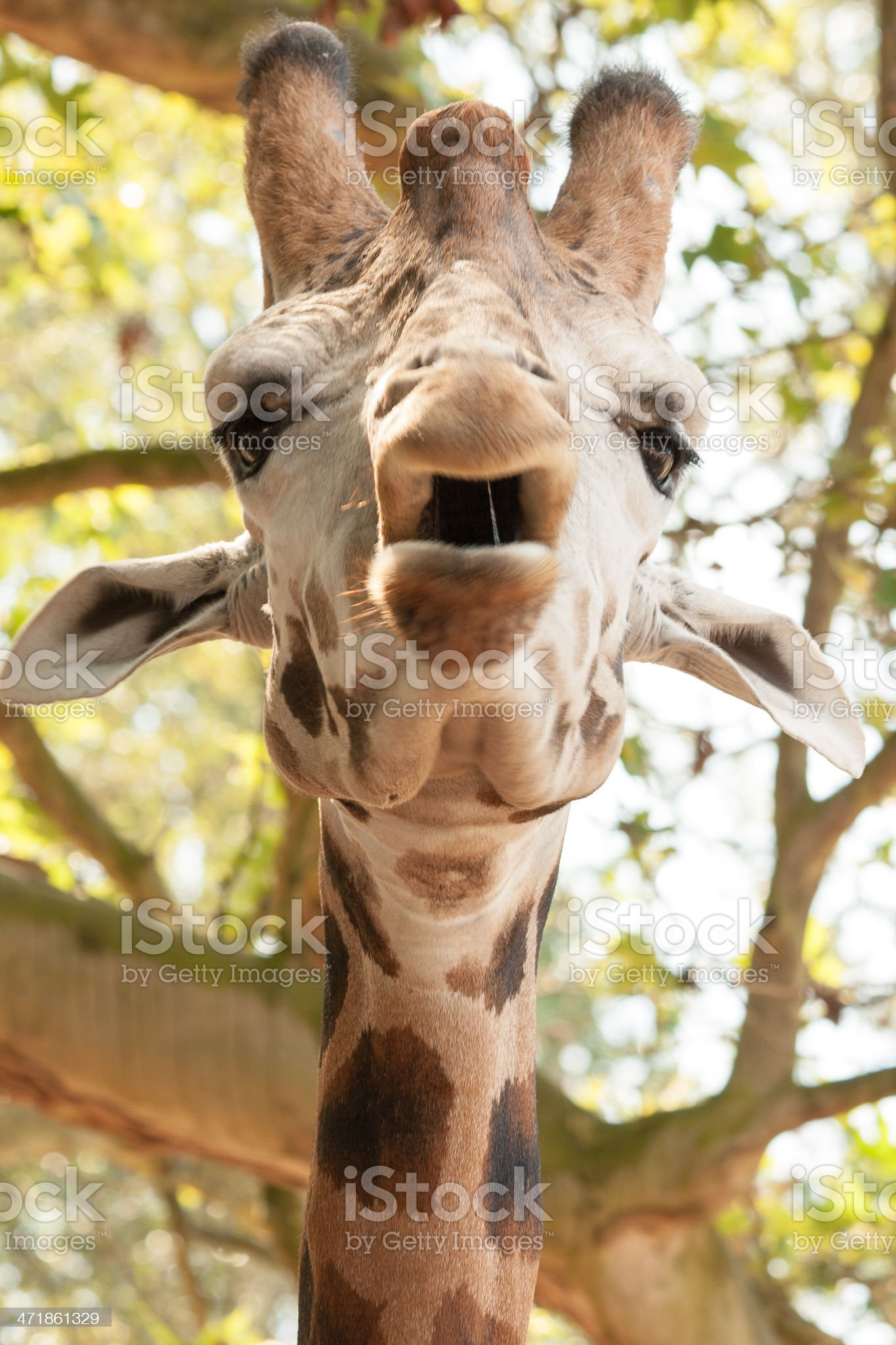Close-up of a Funny Giraffe in the zoo royalty-free stock photo