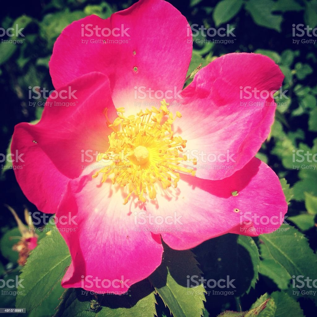 Close-up of a Gallica rose in full bloom stock photo