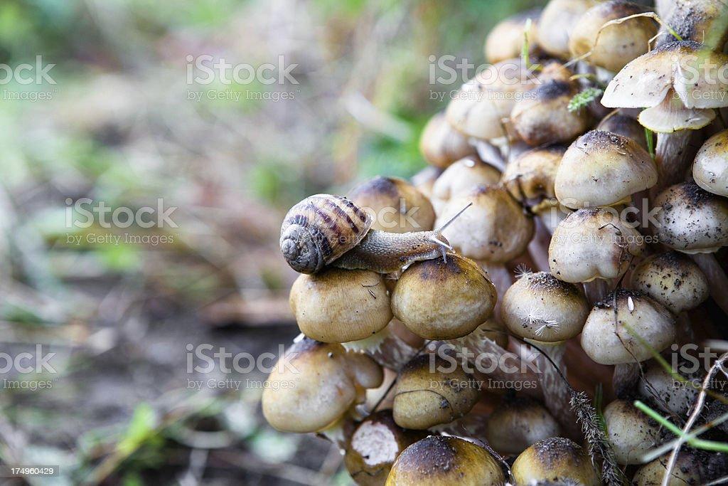 Close-up of a Garden Snail (Helix aspersa) Eating Mushroom stock photo