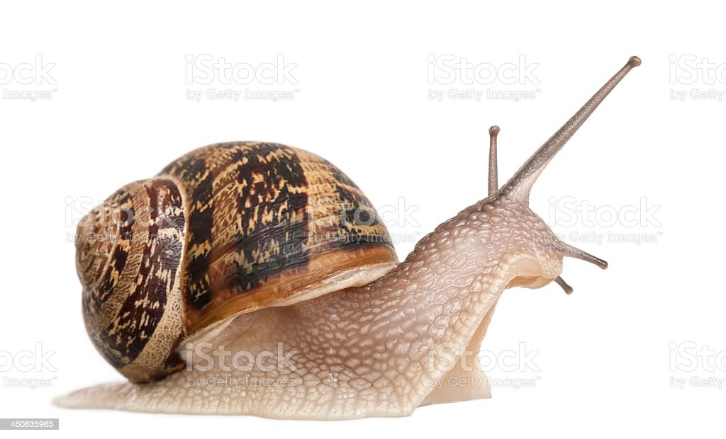Close-up of a garden snail isolated on white stock photo