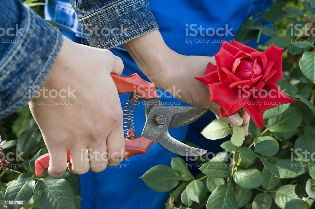 Close-up of a gardener cutting a red rose royalty-free stock photo