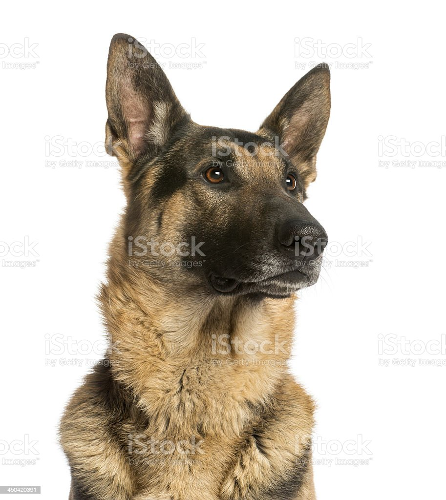 Close-up of a German shepherd looking away, stock photo