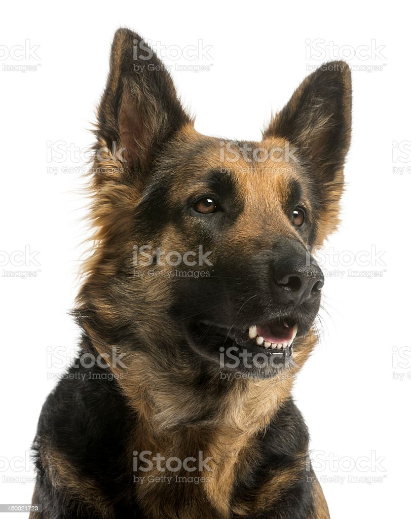Close-up of a German shepherd looking away with open mouth stock photo
