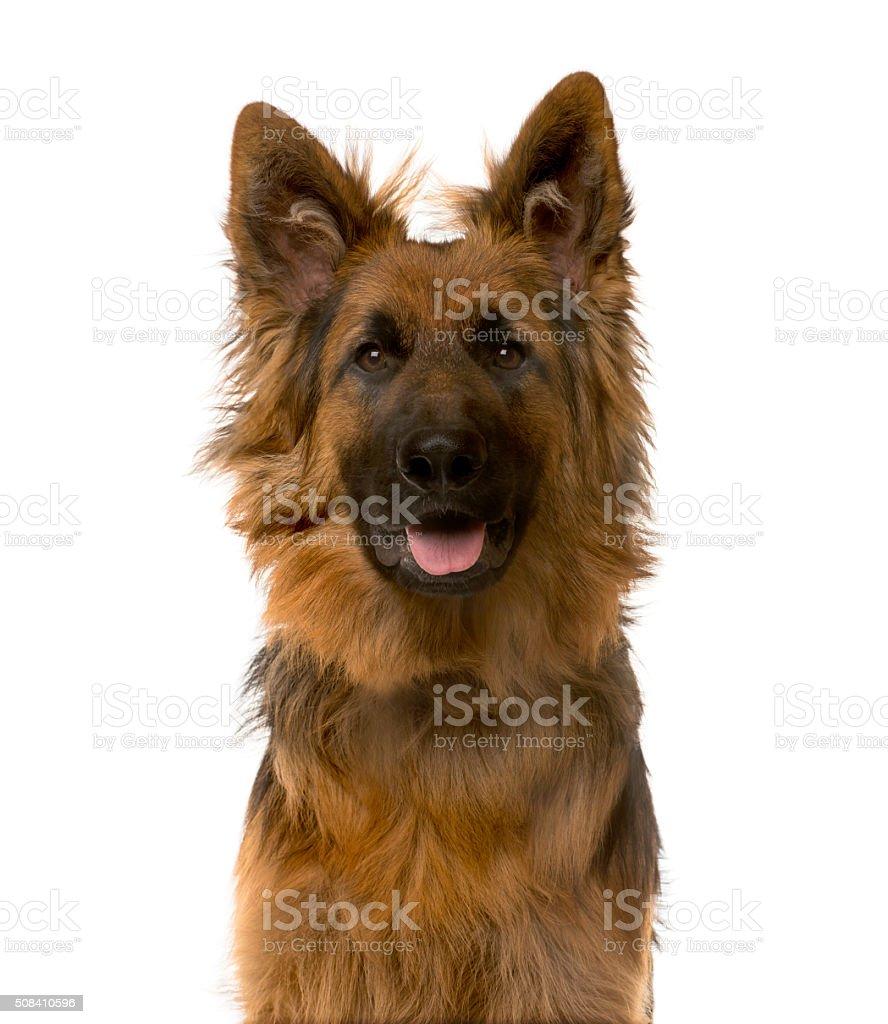 Close-up of a German Shepherd stock photo