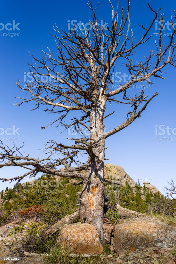 Closeup of a giant dead tree on rocks, high altitude in the mountain woods, blue sky and green forest background. Destroyed by insect parasites, bark beetles. Vedauwoo National Park, Wyoming, USA stock photo