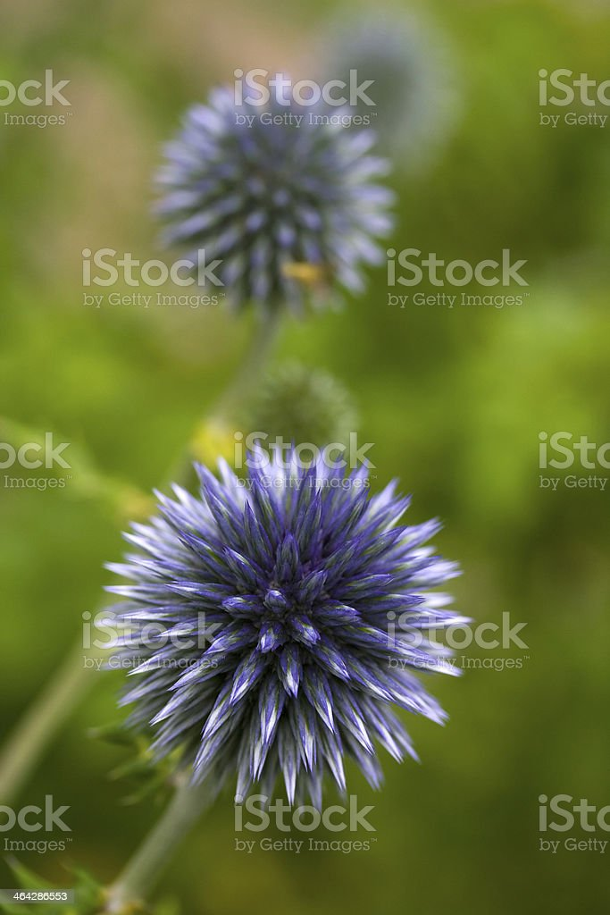 Close-up of a Globe Thistle (Echinops) stock photo