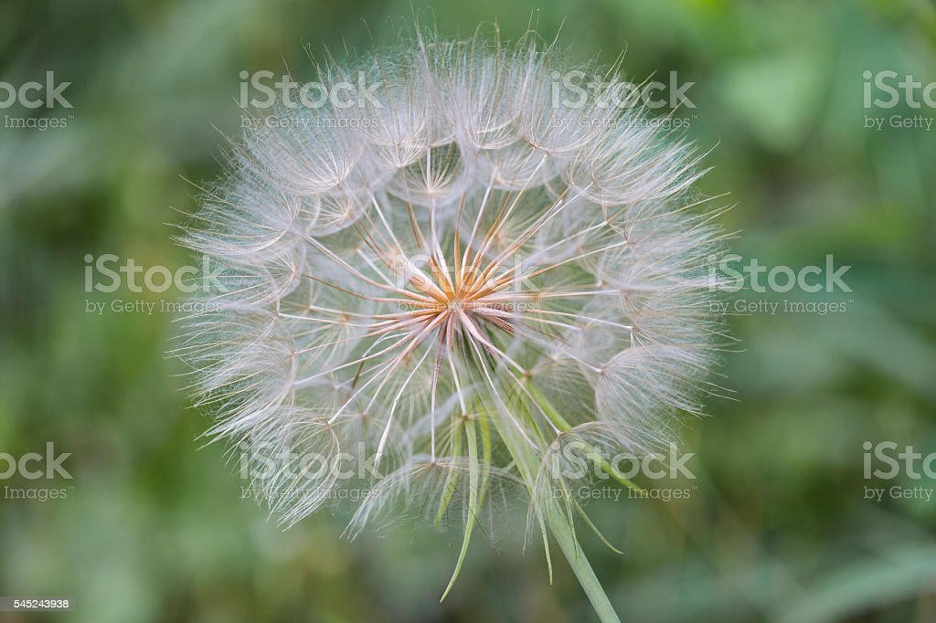 Closeup of a Goats Beard Seed Head with Muted Background stock photo