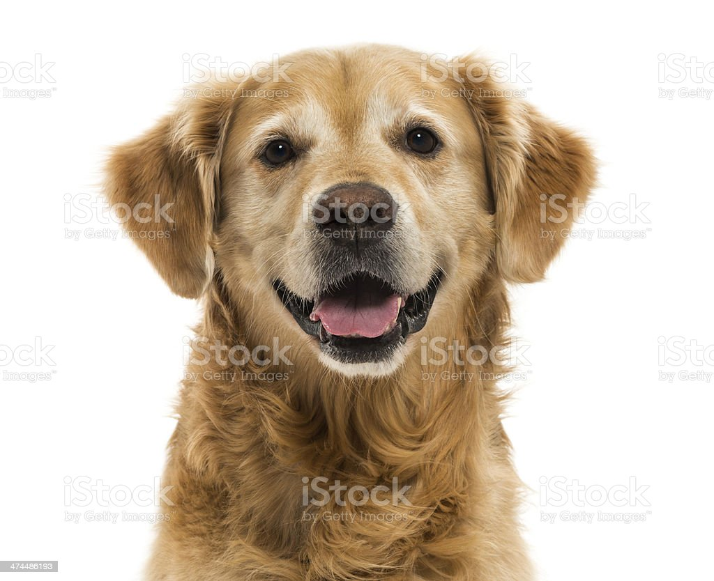 Close-up of a Golden Retriever panting, 11  years old, isolated stock photo
