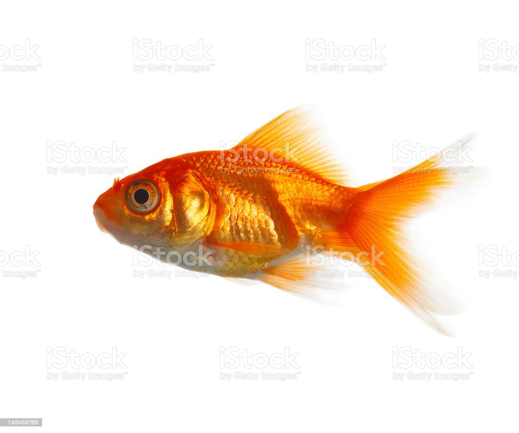 Close-up of a Goldfish stock photo