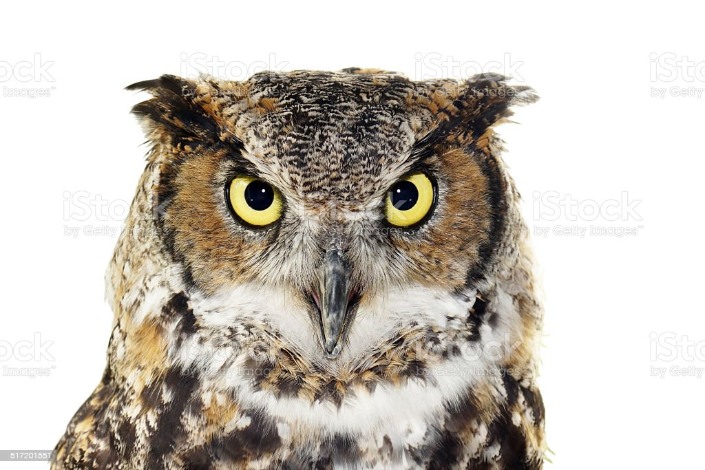 Close-up of a Great Horned owl on white stock photo