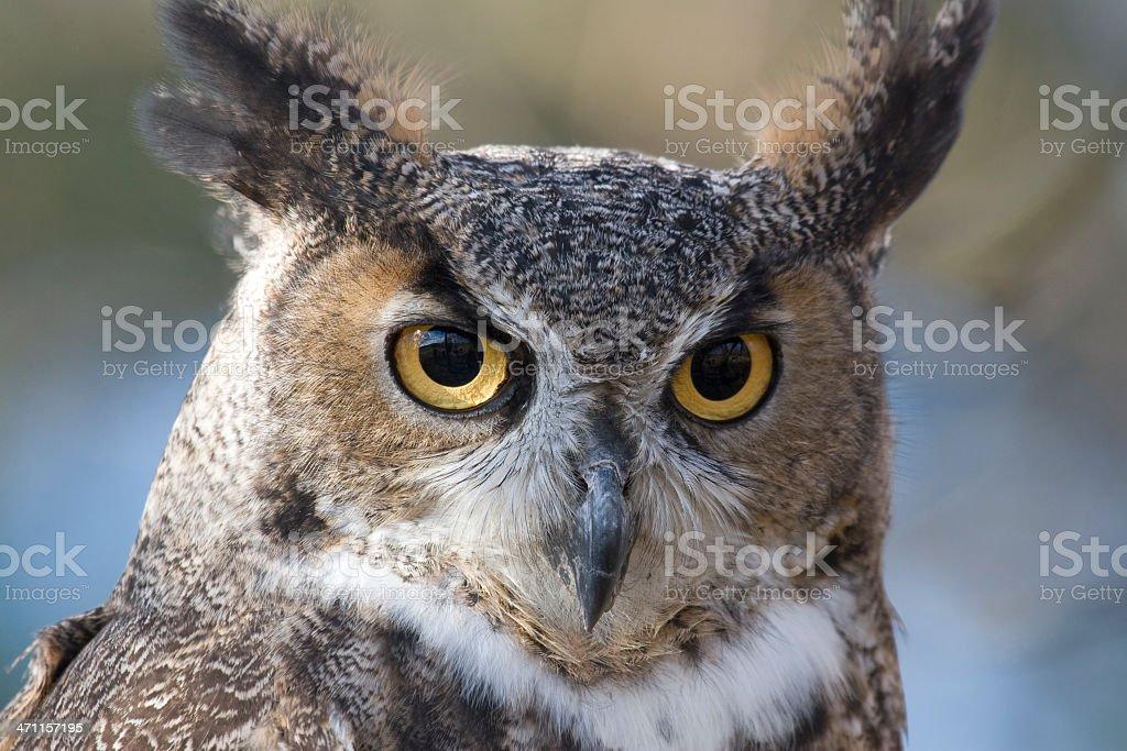 Closeup of a Great Horned Owl (Bubo virginianus) stock photo