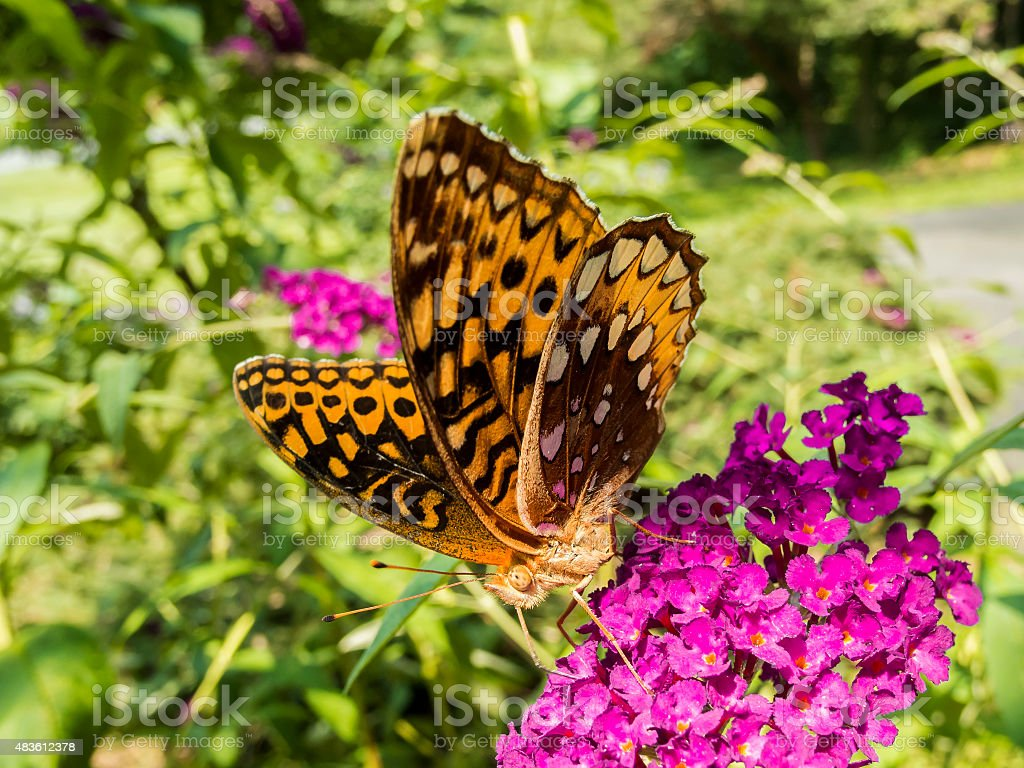 Closeup of a Great Spangled Fritillary Butterflies on Butterfly Bush stock photo