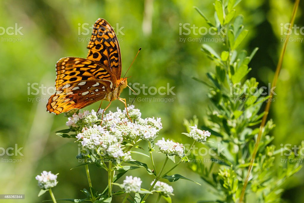 Closeup of a Great Spangled Fritillary's on White Flowers stock photo