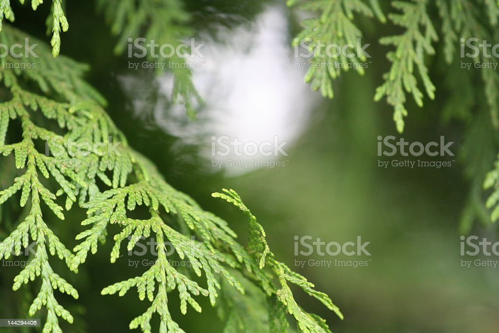 Close-up of a green cedar branch with more blurred behind stock photo