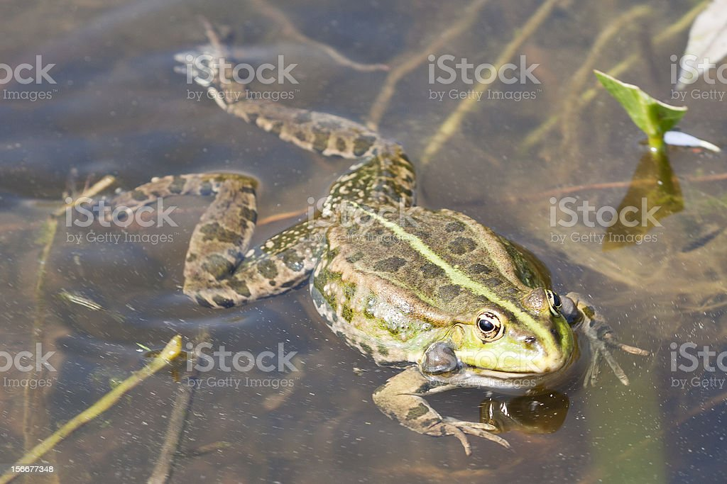 close-up of a green frog stock photo