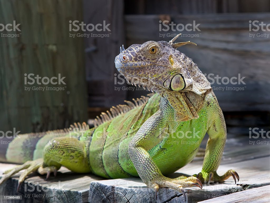 Closeup of a green iguana on a wooden surface stock photo