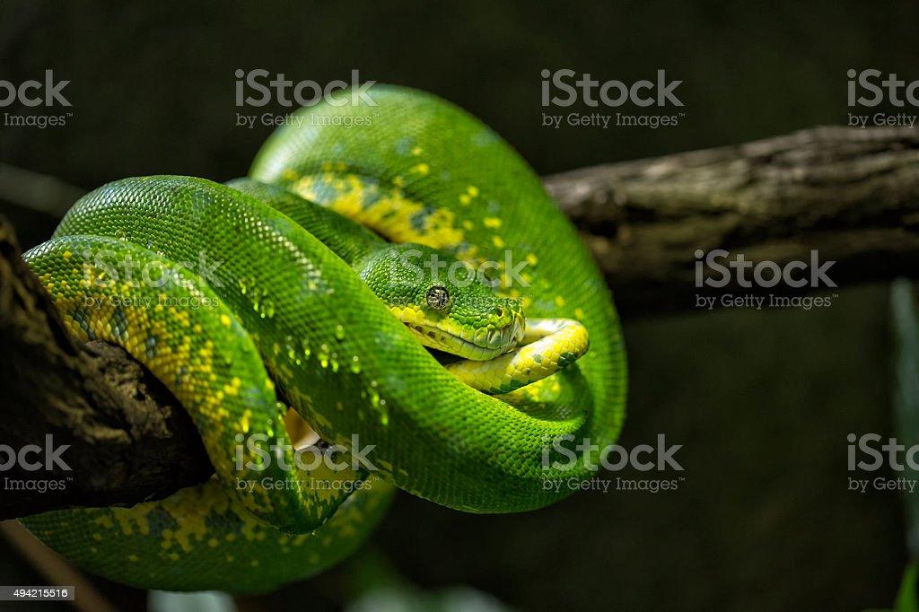 Closeup of a green snake stock photo