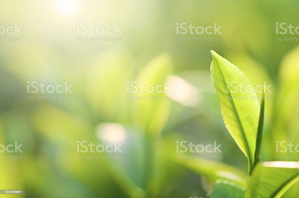 Close-up of a green tea plant's leaf royalty-free stock photo