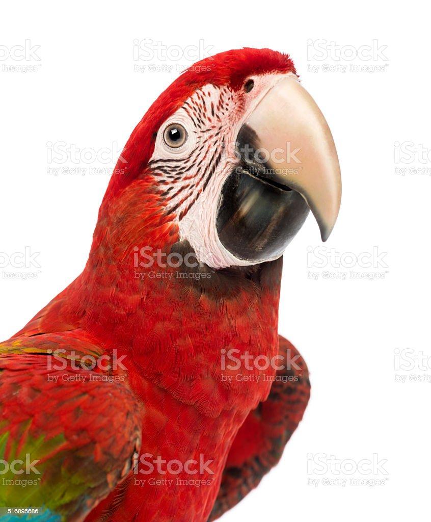 Close-up of a Green-winged Macaw, Ara chloropterus, 1 year old, stock photo