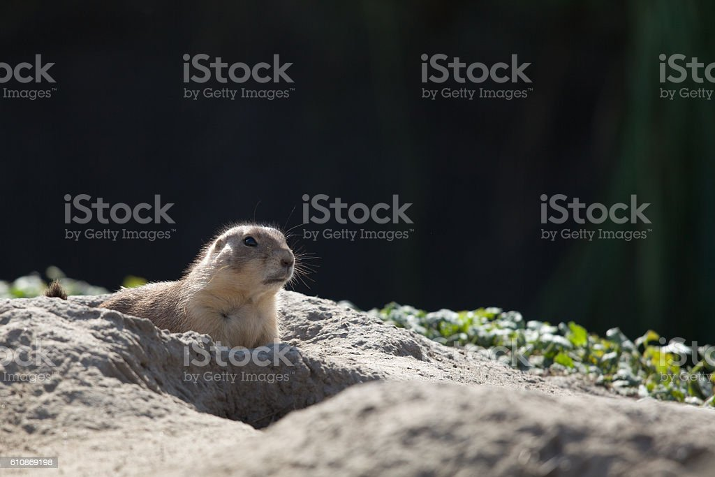 close-up of a groundhog stock photo
