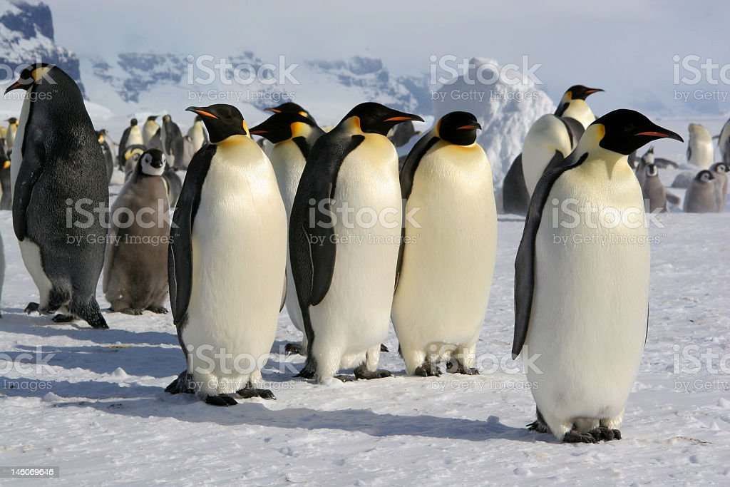 Close-up of a group of cute Emperor penguins resting on ice stock photo