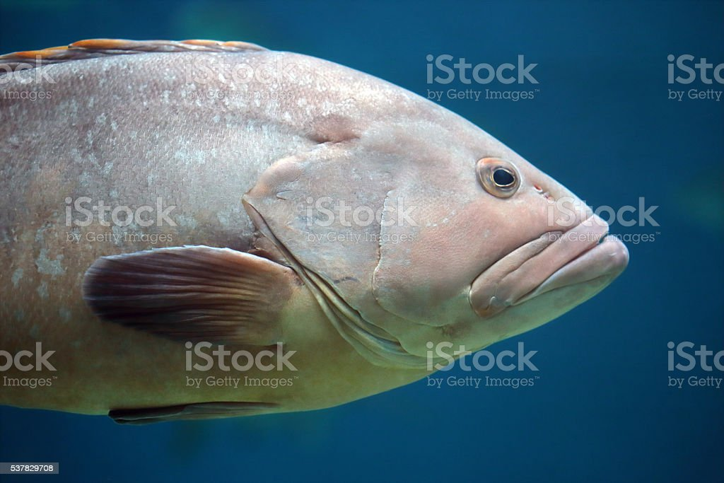 Closeup of a grouper fish stock photo