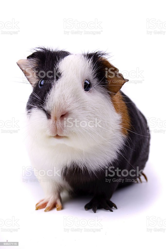 Close-up of a Guinea pig isolated on white royalty-free stock photo