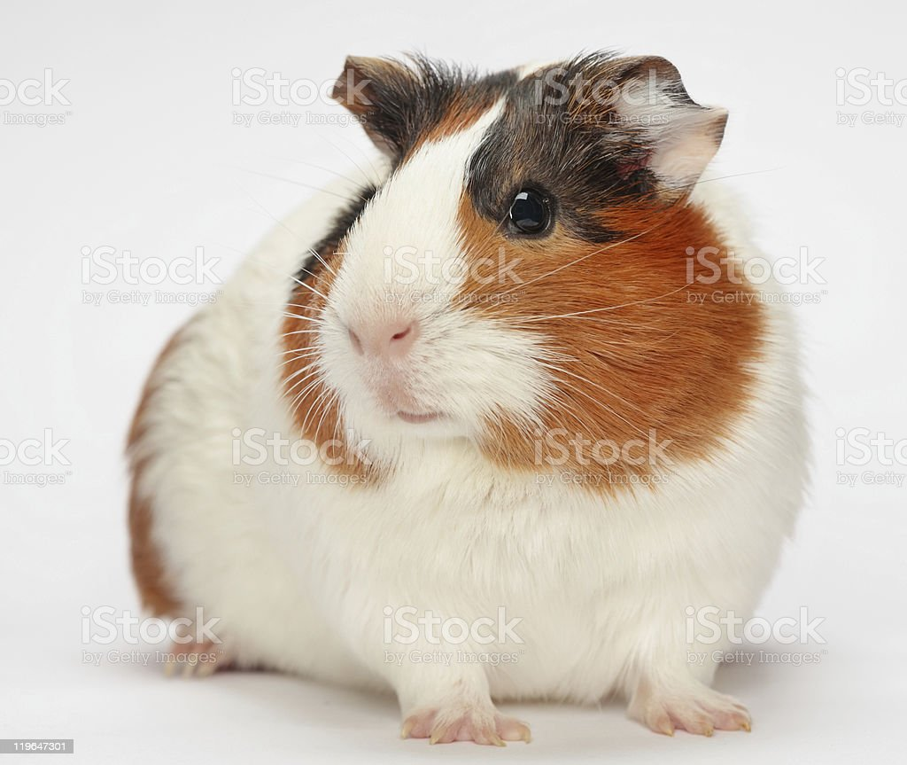 Close-up of a guinea pig on a white background stock photo