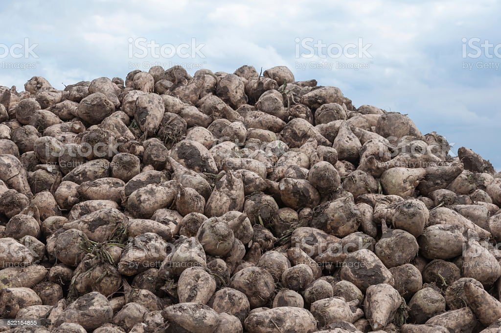 Close-up of a heap of sugar beets stock photo