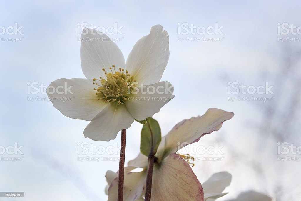 Close-up of a Helleborus niger flower stock photo