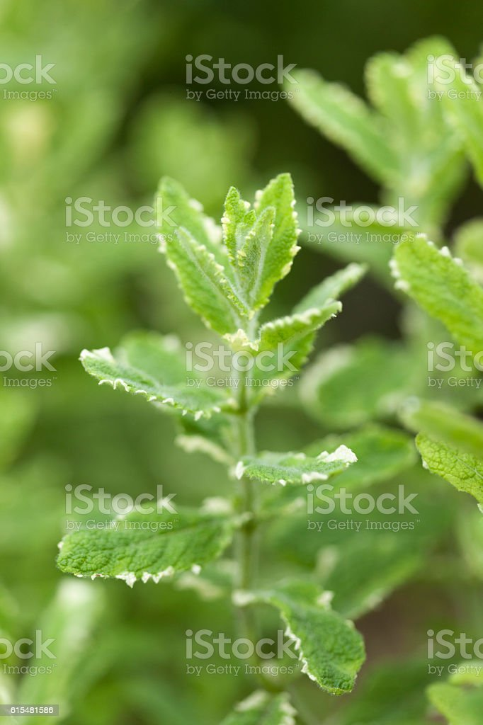 Close-up of a herb stock photo