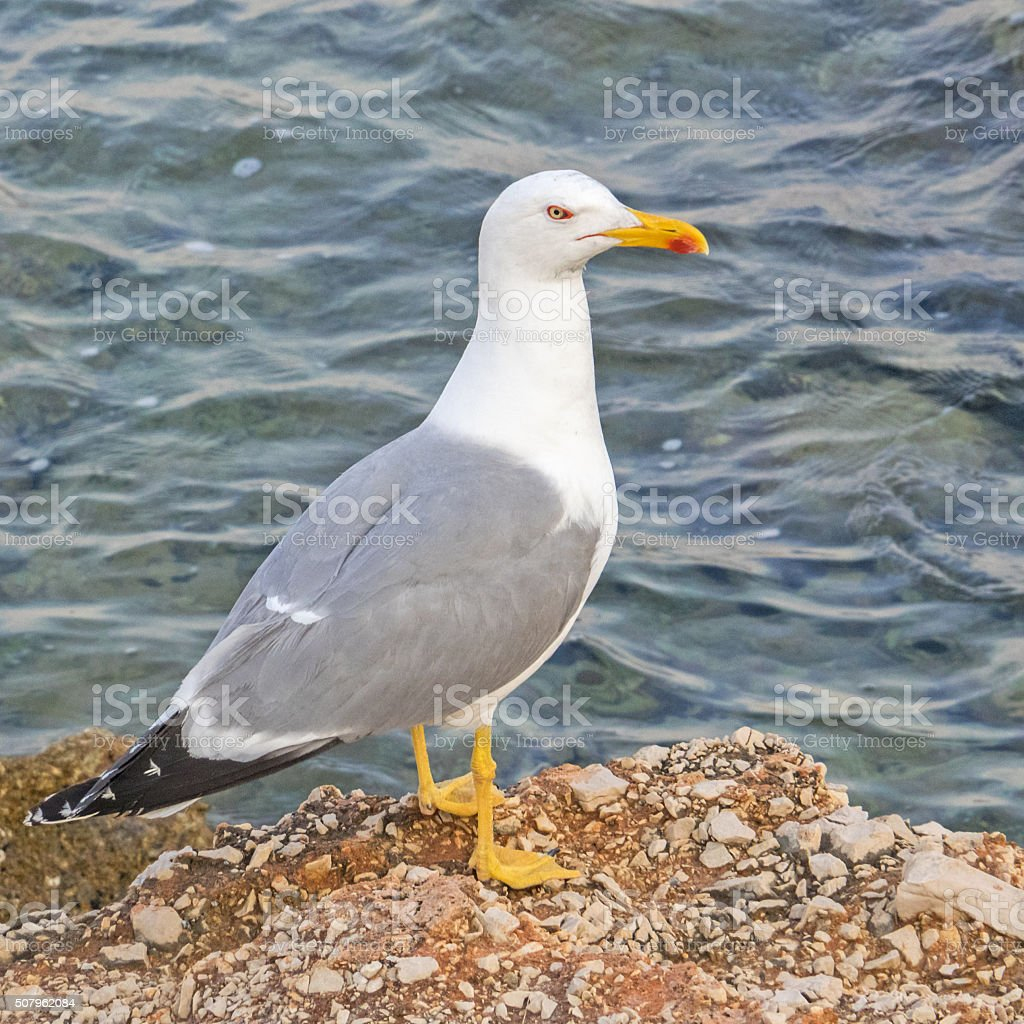 Closeup of a herrig gull stock photo