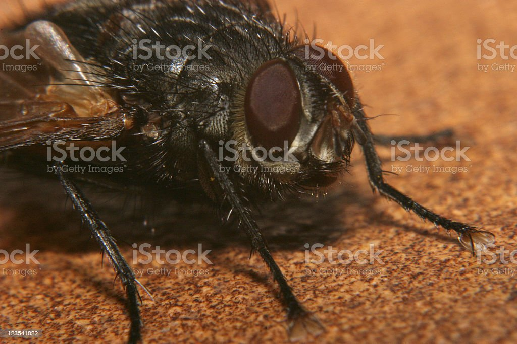 Close-up of a homefly royalty-free stock photo